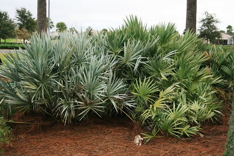 Saw Palmetto for Hair Loss: Before and After