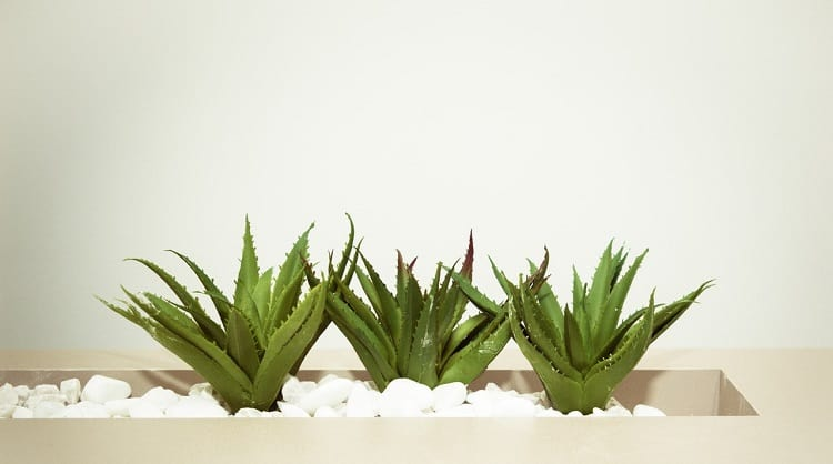 Aloe Vera for hair loss