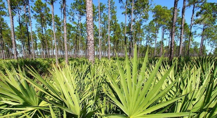 Saw Palmetto For Treating Hair Loss