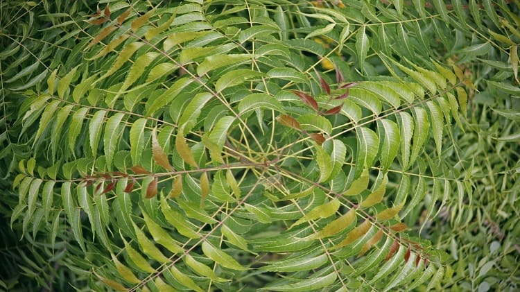 neem leaves hair loss